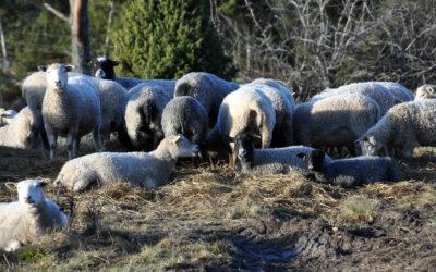 Lammen på sommarbete